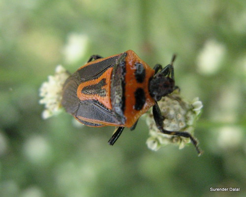 TWO SPOTTED BUG - ADULT