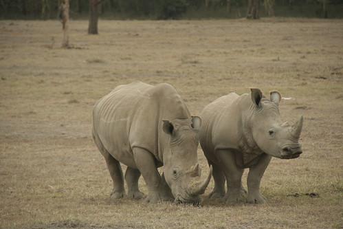 White Rhinos in Lake Nakuru  - Kenya