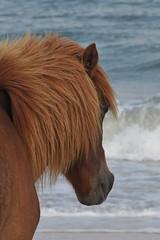 Wild Horses (MLangguth) Tags: usa maryland assateagueisland wildhorsesassateagueisland