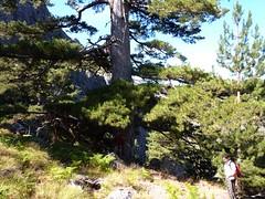 L'énorme pin laricio marquant la fin de l'Andadonna