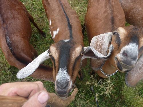 Pretty Goats
