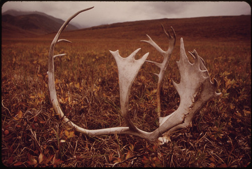 Caribou Shed Their Antlers Annually; They Can Be Found Almost Anywhere on the North Slope, Or Here, in the Atigun Valley the Site of Pump Station #4 Appears on the Skyline of the Hill in the Background 08/1973