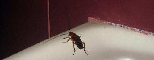 Cockroach - Bali, Indonesia