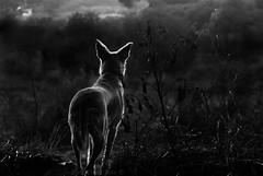 Hope (RottenStagg) Tags: dog amazing harley mega the argentona