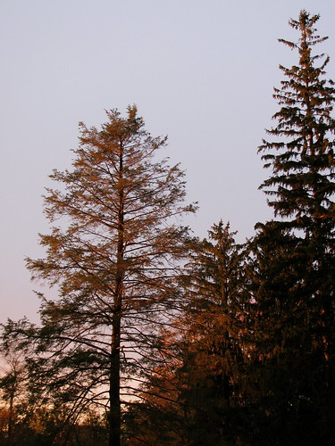 towering pines