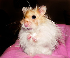 Pucio the Punk (pyza*) Tags: pet silly cute animal rodent furry funny punk sweet critter fluffy hamster muppet syrian hammie pucio chomik syryjski