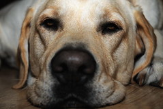 willow (judgedread93) Tags: test dog chien pets animal cat labrador animaux essai d300s