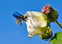 Bumble Bee And Hollyhock On Sunny Autumn Day (aeschylus18917) Tags: flowers flower macro nature japan season insect 50mm nikon seasons flight bee bumblebee hibiscus mallow  malvaceae  rosemallow hollyhock pxt bombus carpenterbee hymenoptera nikkor50mmf14d insecta 50mmf14d alcea apocrita apoidea apidae apinae xylocopa bombini  hibiscusmutabilis  50mm14d rosids  largecarpenterbee malvales xylocopaappendiculata d700 malvoideae hibisceae danielruyle aeschylus18917 danruyle druyle