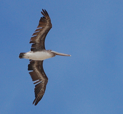 single-pelican-soaring.jpg