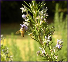 Love That Lavender (ChicaD58 (busy)) Tags: autumn flower nature sunshine insect wings lavender bee honeybee picnik mysistersgarden