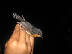 Rufous throated Flycatcher (tom_2014) Tags: bird asia sulawesi flycatcher passerine mistnet ficedula fbwnewbird fbwadded rufigula ficedularufigula rufousthroatedflycatcher
