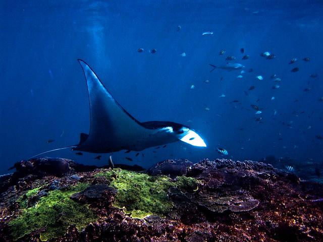 plongée avec une raie manta à bali à manta point