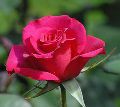 DSC_0161 (cfotos4fun-Russell) Tags: flowers roses flower rose centralpark rosegarden publicgardens schenectady flickrdiamond