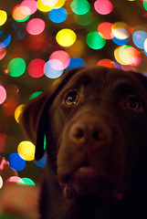 Merry Christmas (ragingtornado) Tags: christmas dog tree jasper pentax f14 fa50mm k200d pentaxart