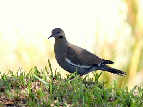 White-winged Dove 2-20100113