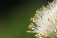 A close look at a Welsh onion flower