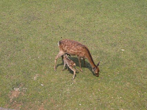 母子鹿の特別公開@鹿苑角きり場-16