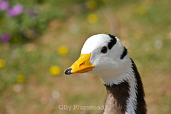 Yellow Beaked Goose? (Olly Plumstead) Tags: park portrait black bird london eye animal st yellow canon bokeh head wildlife central beak feathers goose tip olly jamess plumstead 450d