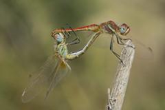 LOVE ❤ (jrosvic) Tags: dragonfly libélula love mating sympetrumfonscolombii loscamachos cartagena murcia nikond7100 nikon60mm28dmicro odonato odonata anisoptera freehand closeup macro kenkopro300x14