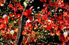 Buds, flowers and fruits on the Jacaranda tree. (Peter u Hilde) Tags: jacarandatree