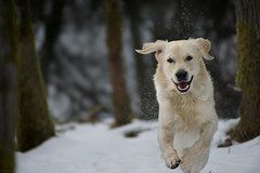 Last Snow II (clé manuel) Tags: nature winter dog forest snow action shot animal hund golden retriever running playing jumping happy looking cle manuel sony alpha photography analogue lens tamron sp 70 210 19 ah f35 zoom a6000 6000 analoges objektiv