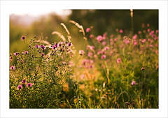 Summer Light #2 (Thomas (dk-photoblog.com)) Tags: vienna wien light summer plants nature backlight canon island eos austria licht sterreich perfect warm photographer bokeh sommer thistle natur pflanzen 85mm usm 18 ef danube gegenlicht distel the donauinsel 40d natureselegantshots