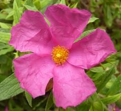 Cistus (Rock Rose)