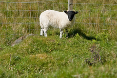 Lamb at Talisker Bay, Isle of Skye (www.bazpics.com) Tags: trip sea vacation mountain holiday skye landscape islands scotland highlands scenery ben hill may scottish scot week loch isle 2009 barryoneilphotography