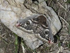 Saturnia pavonia (Panurus biarmicus) Tags: de pan saturnia nuit petit pavonia