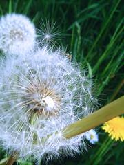Pusteblume I (Wstenfuchs) Tags: pflanze wiese lwenzahn pusteblume