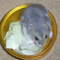 キャベツを食べるコー太