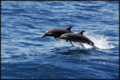 Synchro...... (Spirit photos) Tags: ocean blue sea mer dolphin awesome dauphin picnik westindies grandbleu vosplusbellesphotos mamifremarin