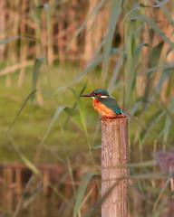 Kingfisher Habitat (Andrew Haynes Wildlife Images) Tags: bird nature reeds fishing waiting brandon reserve pole kingfisher habitat warwickshire brandonmarsh