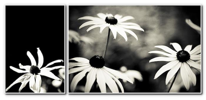 b&w daisies