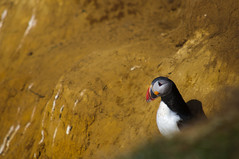 Puffin at Flatey Island, Iceland (Xindaan) Tags: travel vacation portrait holiday bird nature animal yellow geotagged island iceland islandia nikon europa europe dof mud clown 14 natur feather sigma depthoffield dirt puffin 28 70200 2009 f4 teleconverter lundi sland vogel islande isl macareux 70200mm islanda d300 birdcrap fraterculaarctica hsavk papageitaucher 14x flatey 7020028 papageientaucher 280mm brettingsstair 70200mmf28exdg geo:lat=6615833294 geo:lon=1786502490 elfrailecillo