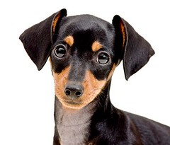 Elise (edwindejongh) Tags: pictures chien pets cute eyes sweet hond dachshund hund pooch domesticanimals littledog dackel teckel lief trouw hondje melancholic cuty schatje animalphotography dogportrait knikkers dogeyes dashond dogonwhite vertederend edwindejongh melancholiek dierenfotografie hondenportret kleinehond catvertise sabinevanderhelm kaninchenteckel vovnjau dwergteckel dierenmodellen animalmodellingcappcappdierenfotoscats
