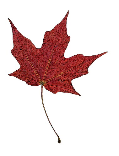 maple leaf in color