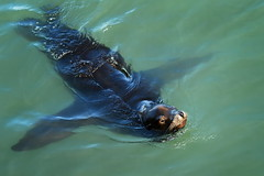 Sea lion cruising by (wolfpix) Tags: mammal nikon seal sealion marinemammal californiasealion pinniped zalophuscalifornianus nikond60 kalifornischerseelwe lenmarino otridos mamferomarino  ellenmarinodecalifornia defendersphotocontest2010