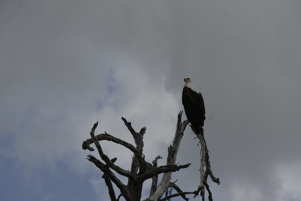 African Fish Eagle up a tree - Selous Game Reserve, Tanzania