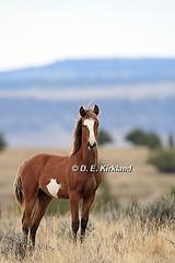 IMG_6135 (DennisKirkland) Tags: wild horses mountain nature oregon outdoors wildlife steens equine mustangs