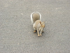 Squirrel from chicago. (Cédric Boismain) Tags: usa chicago october09