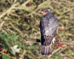 Sparrow Hawk 2 (Andrew Haynes Wildlife Images) Tags: bird nature wildlife raptor warwickshire birdofprey sparrowhawk brandonmarsh canon40d ajh2008