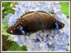 Hypolimnas bolina jacintha (Jacintha Eggfly), wings fully spread on Mophead Hydrangea
