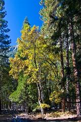 Standing Colorfully Alone (Cliff Stone) Tags: fall fallcolors yosemite yosemitenationalpark yosemitevalley canonefs1785is canoneos40d