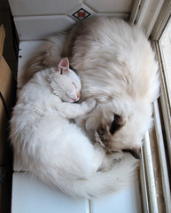 My cute Ragdolls (Rule of Rose ..) Tags: two cats white cute strange cat sweet brother sleep tag twin sleepy sweety yahel    freands      yahil   ragdol sleepey        catmoments  ragdols  cannon900