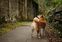 Out Together (kaoni701) Tags: sanfrancisco dog pet cute animal 35mm puppy landscape nikon bokeh path 18 suki shibainu sausalito shibaken  d300s