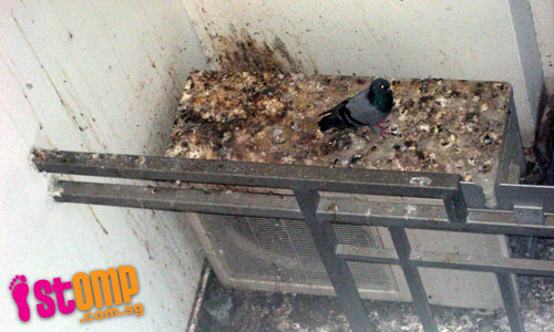 Annoying pigeons make aircon lodge their home and try to camp at my house