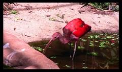 Brasilien-Iguassu-Parque das Aves, Roter Ibis stapft durchs Gewsser - 4 (roba66) Tags: park brazil naturaleza bird nature birds brasil fauna nationalpark colorful natur natura brasilien ibis colourful vgel iguazu natures vogel iguacu iguassu birdpark wildpark colorido iguassufalls vogelpark parquedasaves iguassuwasserflle parkdasaves absolutelyperrrfect iguassufloraundfaunaimuamregenwaldupark roba66 zoolgarten