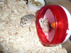 December 09 002 (supernaturalfan90) Tags: dwarf hamsters robo