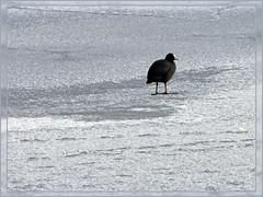 Meerkoet op het ijs... (by_irma) Tags: winter ice nijmegen nederland coot ijs meerkoet fulicaatra